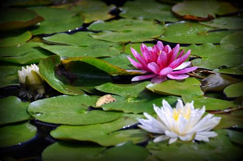 lotus garden 45 photos 111 1000 images about bushido buddhism on