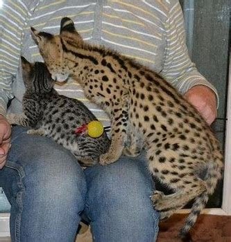 Purchasing Your African Serval Cat  Buy Serval Kittens
