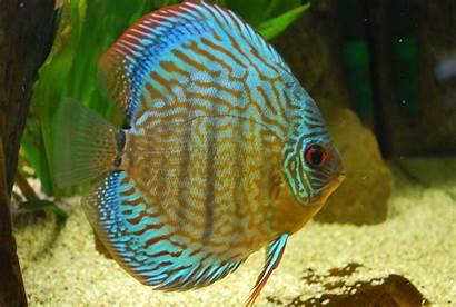 Discus Fish Ornamental Wallpapers Care Breeding Diseases
