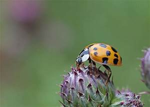 Good and Bad Ladybugs - How to Tell the Difference