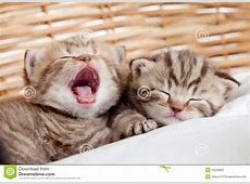Two Funny Sleeping And Yawning Kittens Stock Photo Image