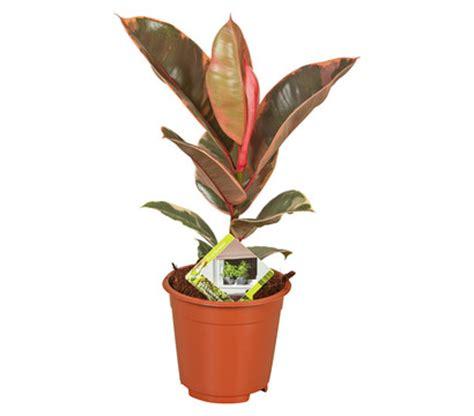 Gummibaum  Ficus 'belize'  Dehner Garten Center