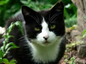 black and white cats moongazer a black and white she cat with a