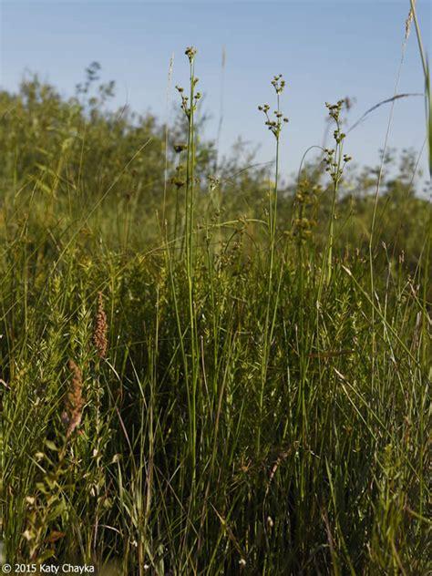 juncus canadensis canada rush minnesota wildflowers
