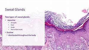 Sweat Glands - Apocrine  U0026 Eccrine