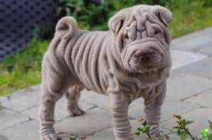 shar pei wonderwoof