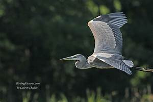 Great Blue Heron Juvenile - Birding Pictures