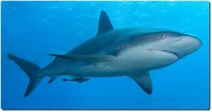 Here You Can Learn The Coolest Facts About Sharks Shark