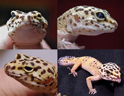 leopard gecko eyes blind
