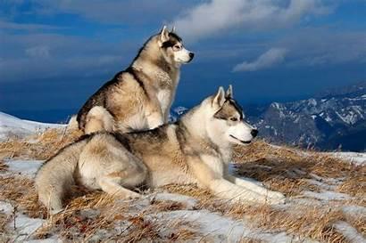 Wallpapers Winter Huskies Dogs Husky Backgrounds Siberian