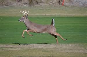 Buck Deer Running