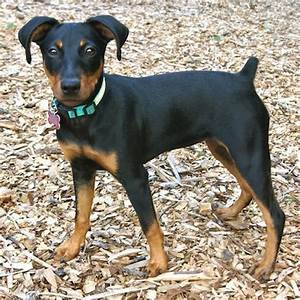 ADOPTED!! River is a Doberman / Miniature Pinscher. She's ...