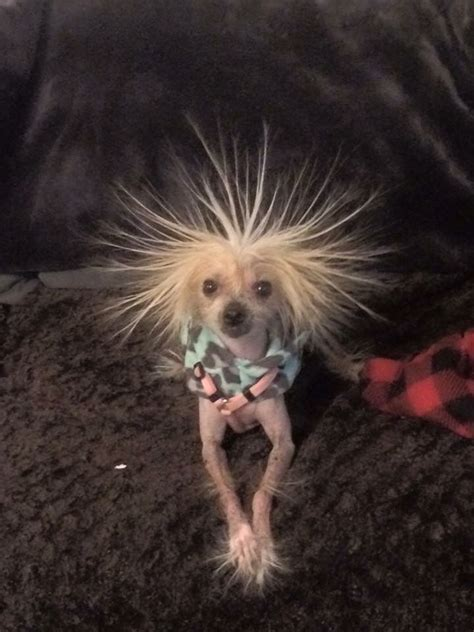 chinese crested hairless images  pinterest