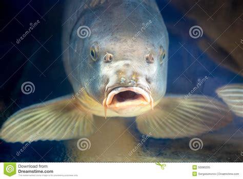 carpe koi dans aquarium poissons de carpe dans l eau d ubder d aquarium ou de r 233 servoir photo stock image 50080205