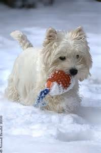 Westie Highland Terrier in the Snow