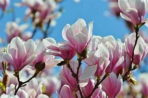Fleur De Magnolia : les fleurs de printemps au jardin ~ Melissatoandfro.com Idées de Décoration