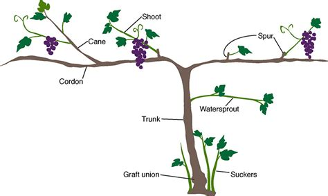 how to prune concord grapes growing grapes for home use yard and garden university of minnesota extension