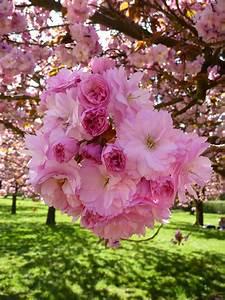 Les Fleurs Paris : les cerisiers du japon sont en fleur paris c t jardin ~ Voncanada.com Idées de Décoration