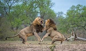 Two dominant lions' intense fight at Kruger National Park ...
