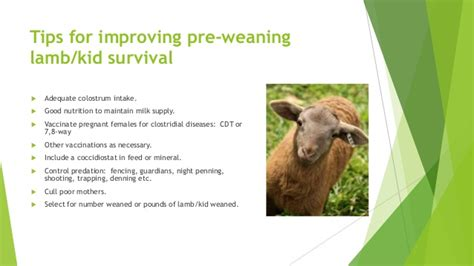Tips For Improving Lambingkidding Percentage