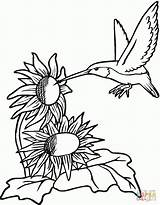 Coloring Printable Hummingbirds Pages Hummingbird Sunflower Sunflowers Flowers Colouring Adult Bird Flower Supercoloring Rose Sylph Source Birds sketch template