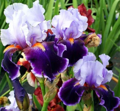 fiore iris foto significato iris linguaggio dei fiori