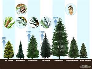 how to identify spruce trees 6 steps with pictures wikihow