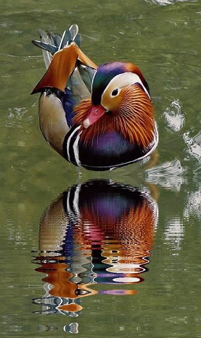 Mandarin Duck Birds Bird Colorful Ducks Drake