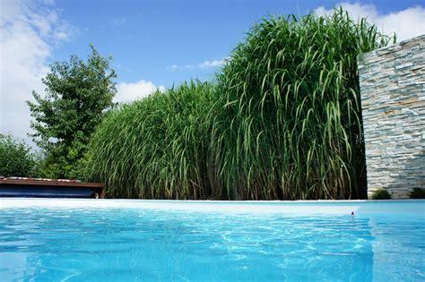 Gartengestaltung Gräser by Miscanthus Chinaschilf Als Hintergrund Zum Garten Pool