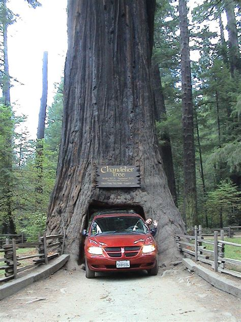 panoramio photo of drive thru tree chandelier tree