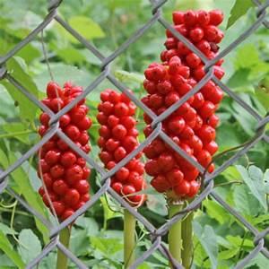 Pflanze Mit Roten Blüten : beeren pflanzen bestimmen ~ Eleganceandgraceweddings.com Haus und Dekorationen