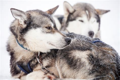 What Is The Best Dog Food For Siberian Huskies?