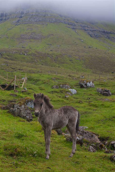 travelettes animals   faroe islands