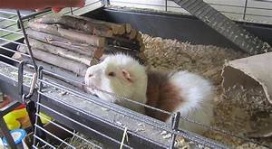 Cage A Cochon D Inde : a quel endroit placer la cage de votre cochon d 39 inde ~ Dallasstarsshop.com Idées de Décoration