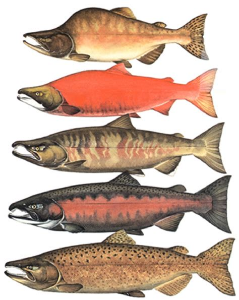 types of salmon tottering totems