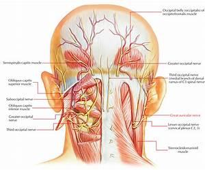 Greater Auricular Nerve Innervation | www.pixshark.com ...
