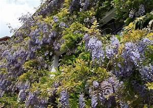 Blauregen Im Kübel : glyzinie einewundersch ne bl hende kletterpflanze aber sehr stark wachsend ~ Frokenaadalensverden.com Haus und Dekorationen