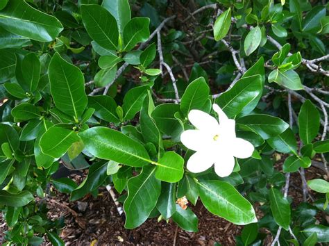 Native Hawaiian Plants  Native Hawaiian Plants For