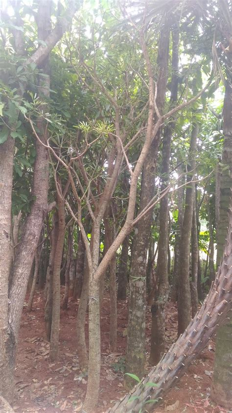 jual pohon tabibuya kuning pohon pelindung tanaman