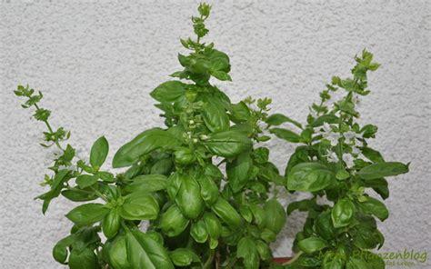 basilikum trocknen im backofen kr 228 uter schonend ernten 187 mein pflanzenblog