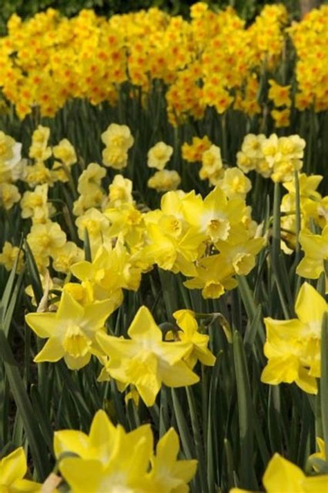 related keywords suggestions for jonquilla narcissus