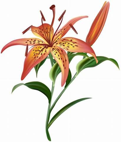 Lilium Flowers Pngimg