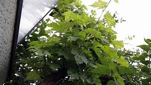 Wilder Wein Vermehren : wein richtig pflanzen wein im eigenen garten anbauen ratgeber garten wilder wein pflege ~ Orissabook.com Haus und Dekorationen