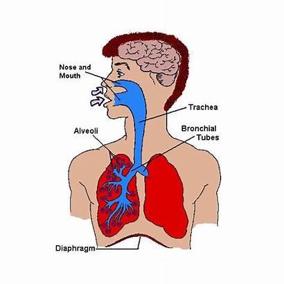 Lungs Human Facts Heart Brain Organs Preschool