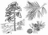 Coloring Trees Pine sketch template