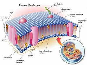 Plasma Membrane | Structure, Function of Plasma Membrane ...