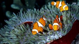 clownfish Wallpaper and Background | 1366x768 | ID:490619