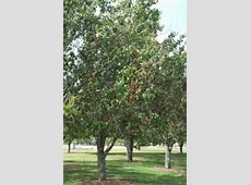Fire Blight of Ornamental Pears Texas Plant Disease