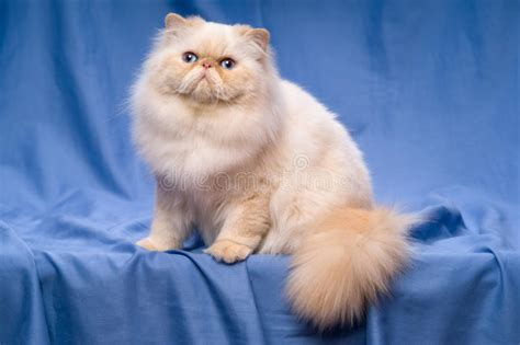 Cute Persian Cream Colorpoint Cat Sitting On A Blue