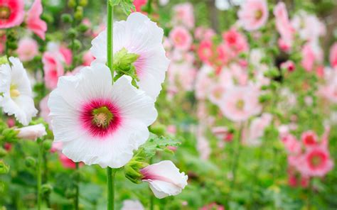 annual plant definition image gallery hardy annual meaning